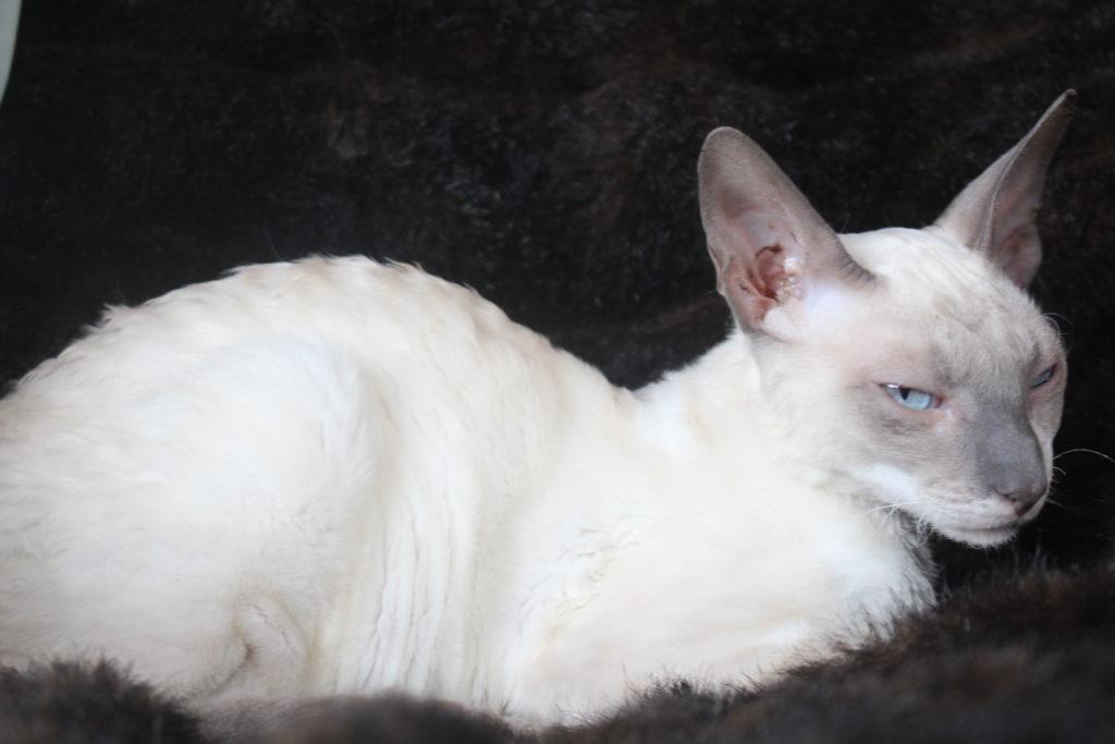 Cornish Rex Kittens Dob 24 Jan 2017 Blue Pointed Male